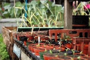 tomato_seedlings