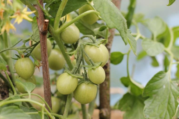 tomater i miniväxthus början av juni