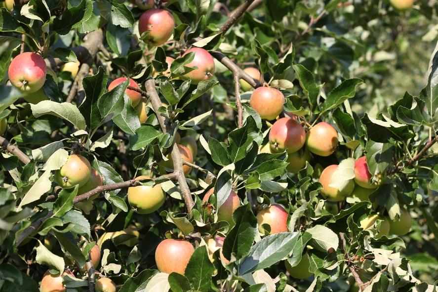 Äpplen veckodagsområdet