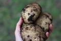 potatisskörd närbild 19 sept