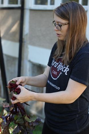 rödbetsrensning Fagerlidsodlingen Hökarängen foto Maja Lindström