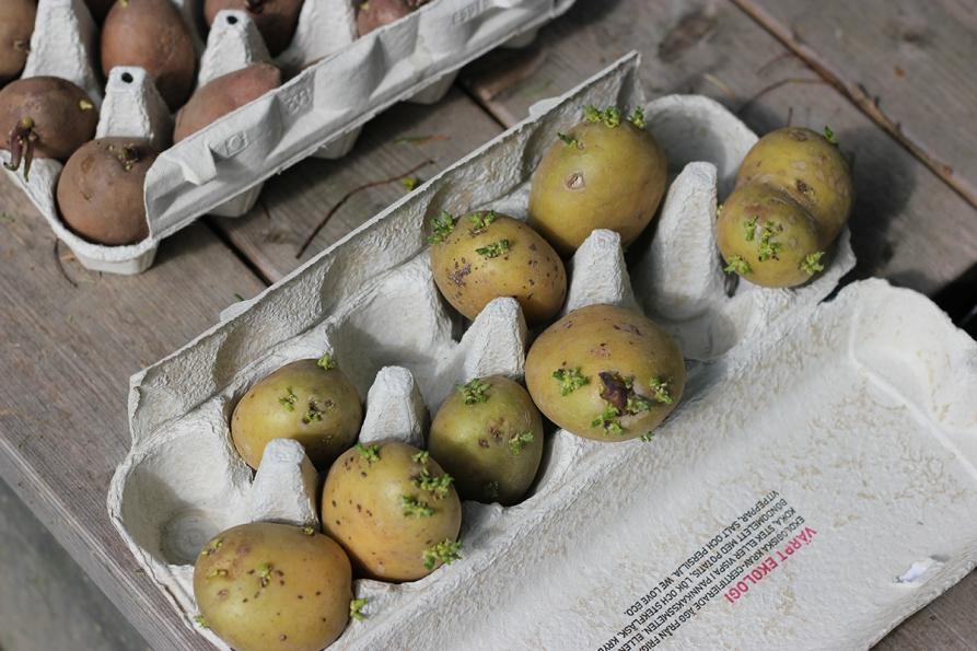 Fast potatis till vår halmbädd foto Maja Lindström Fagerlidsodlingen