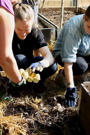 Odla i halmbädd sätta potatisen foto Maja Lindström