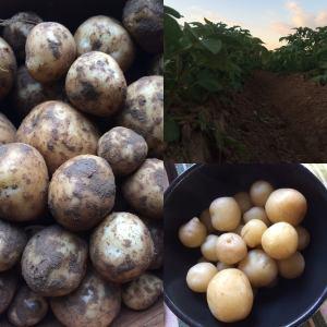 Wålstedts gård potatis
