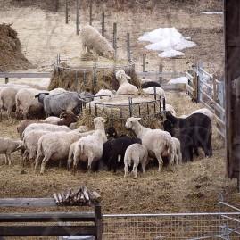 fåren Wålstedts gård