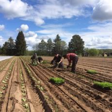 wåhlsteds gård utplantering av försått