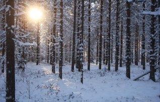 snoigt-skog